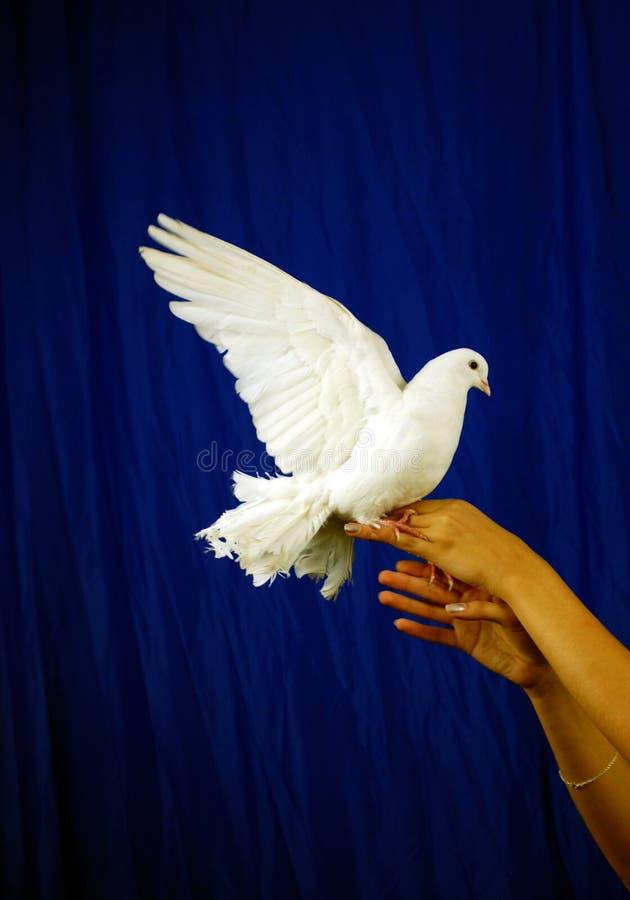 Witte duif royalty-vrije stock afbeelding