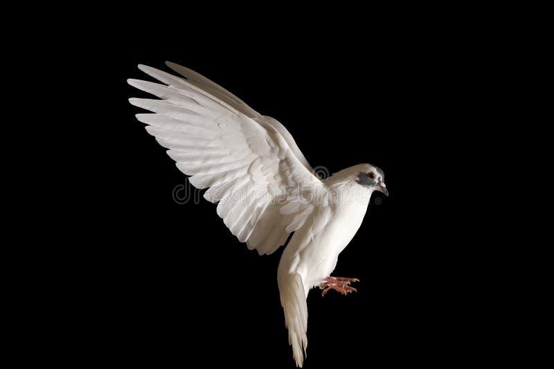 Witte duif die van vrede op een zwarte achtergrond vliegen royalty-vrije stock foto