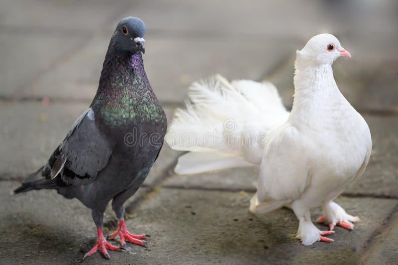 Witte duif en grijze duif met sommige kleurrijke groen en violett veren stock foto's