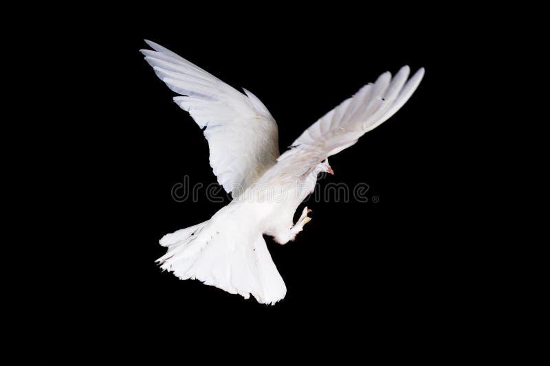 Witte duif en hand stock fotografie