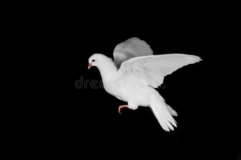 Witte duif en hand royalty-vrije stock afbeelding