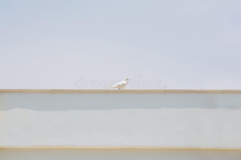 Witte duif gecentreerd op het dak van de witte bouwstrepen Witte duif - een symbool van vrede stock foto