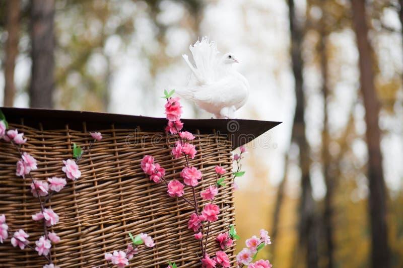 Witte duif - huwelijk stock fotografie