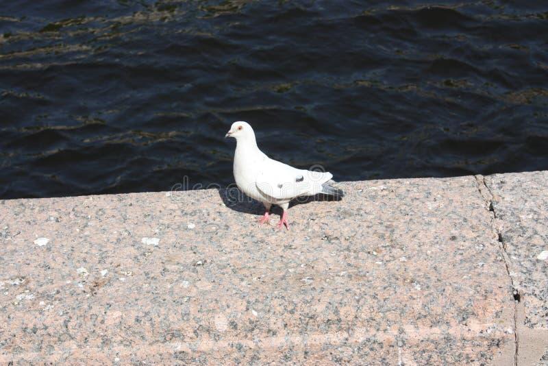 witte duif op de granietomheining van het kanaal in Petersburg royalty-vrije stock foto