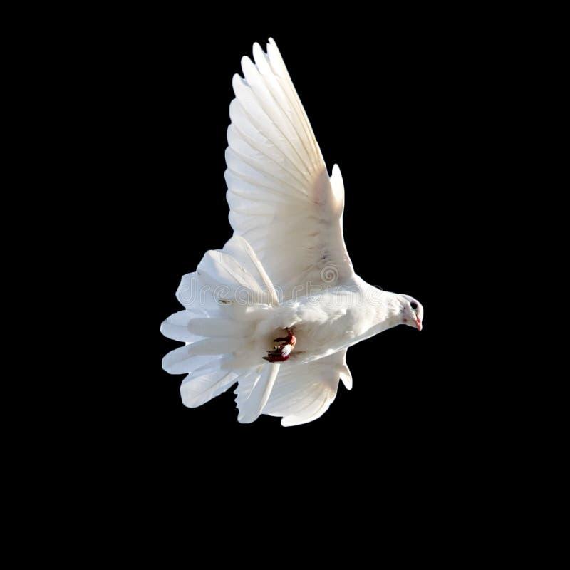Witte duif op een zwarte achtergrond stock fotografie