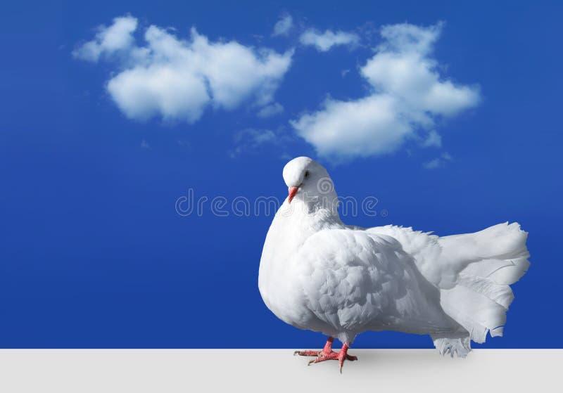 Witte duif tegen hemel stock afbeeldingen