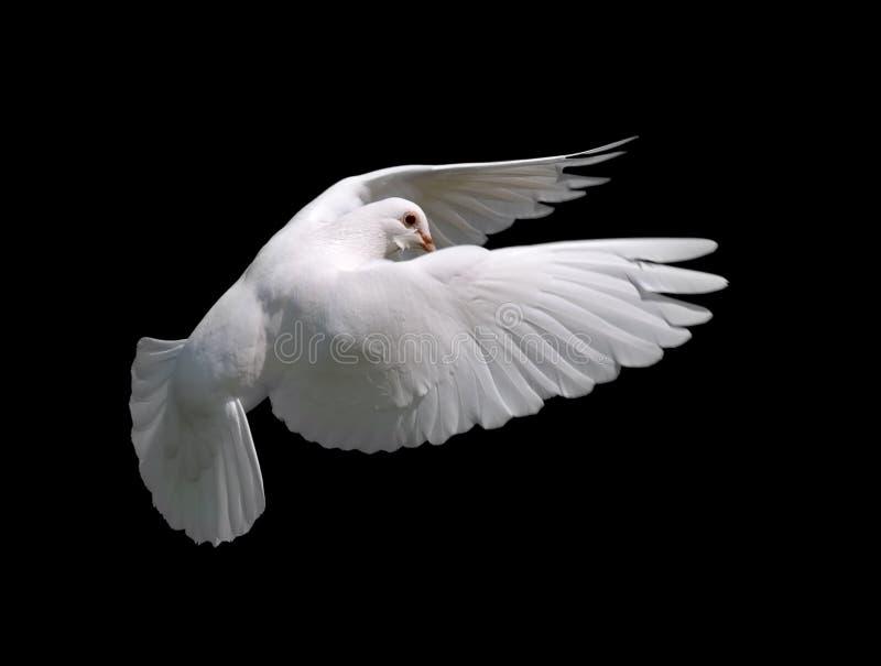 Witte Duif tijdens de vlucht 10 stock afbeeldingen