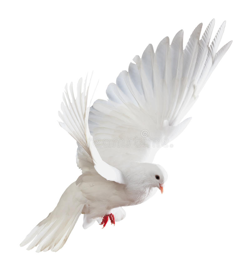 Witte duif tijdens de vlucht