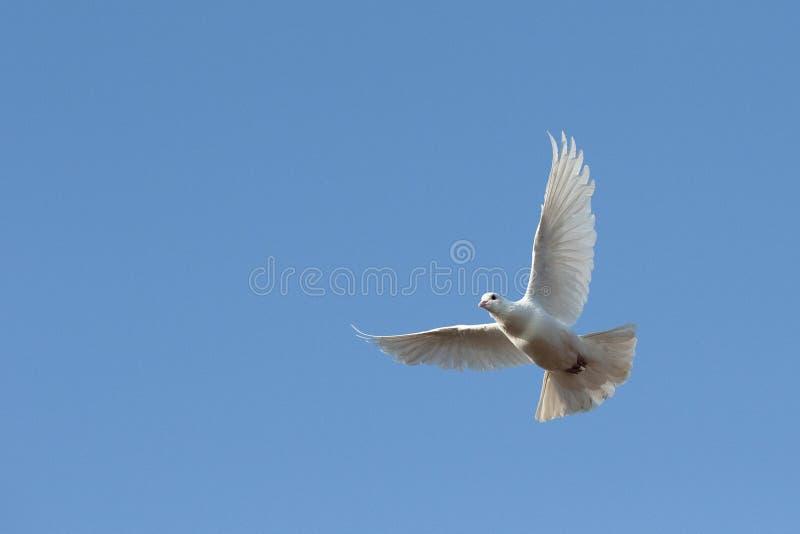 Witte duif tijdens de vlucht stock afbeelding