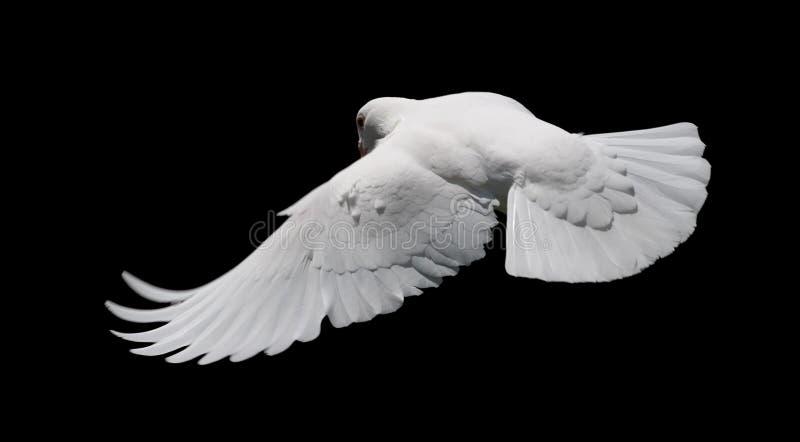 Witte Duif tijdens de vlucht 8 royalty-vrije stock afbeelding
