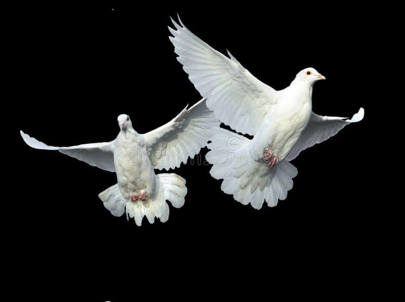 Witte duif in vrije vlucht royalty-vrije stock fotografie