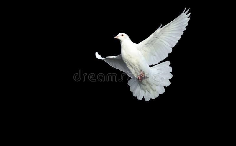 Witte duif in vrije vlucht stock afbeelding