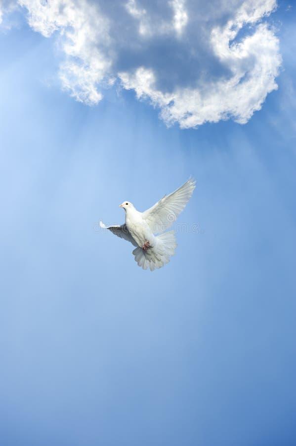 Witte duif in vrije vlucht stock afbeeldingen