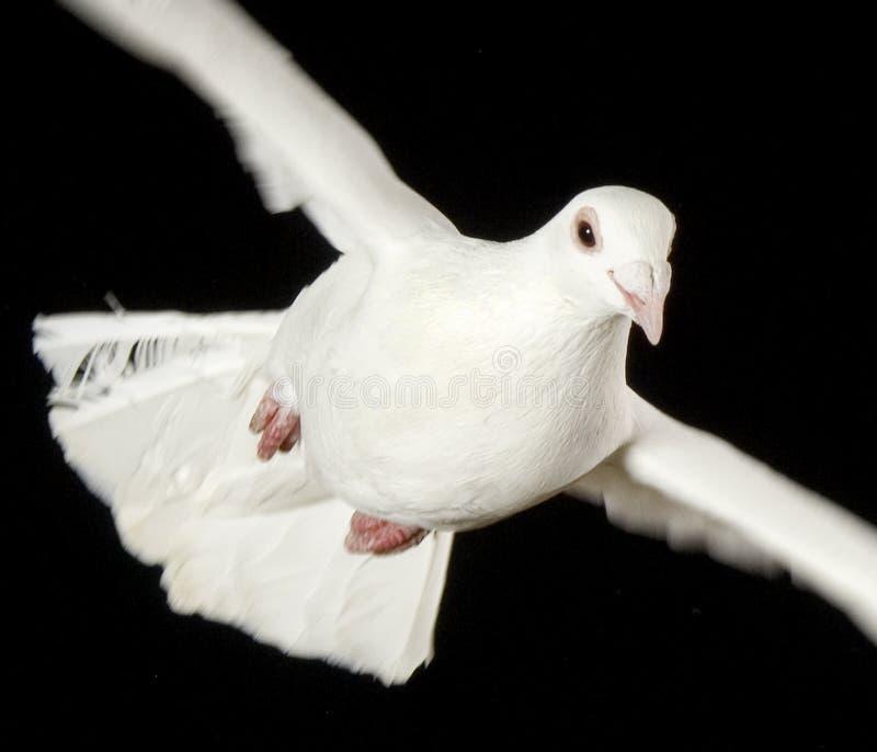 Witte duif in vrije vlucht met geïsoleerdeg terug zwarte stock fotografie