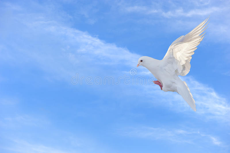Witte duif in vrije vlucht onder blauwe hemel royalty-vrije stock foto