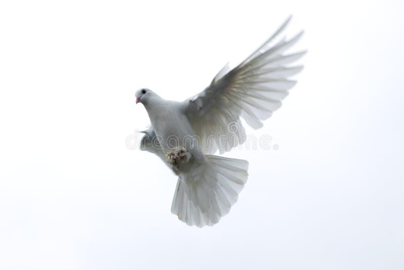 witte duifduif die in de uitgerekte vleugels van de hemelvrijheid hoop vliegen stock foto