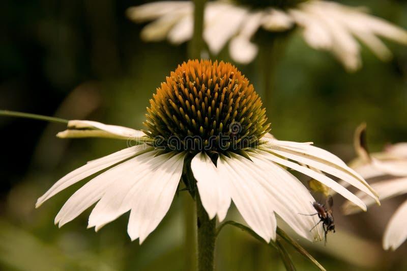 Witte Echinacea royalty-vrije stock afbeeldingen