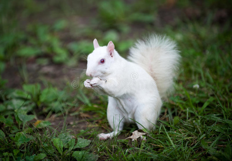 Witte eekhoorn stock foto
