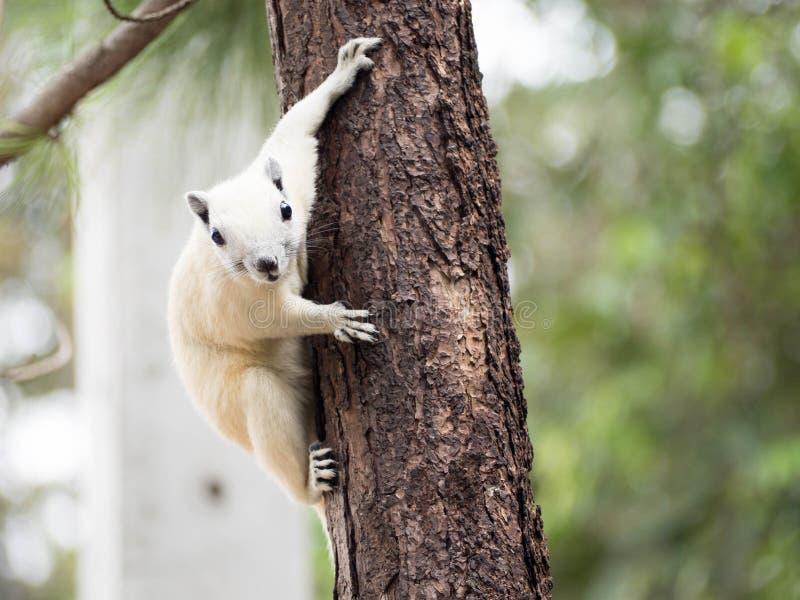 Witte eekhoorn stock afbeelding