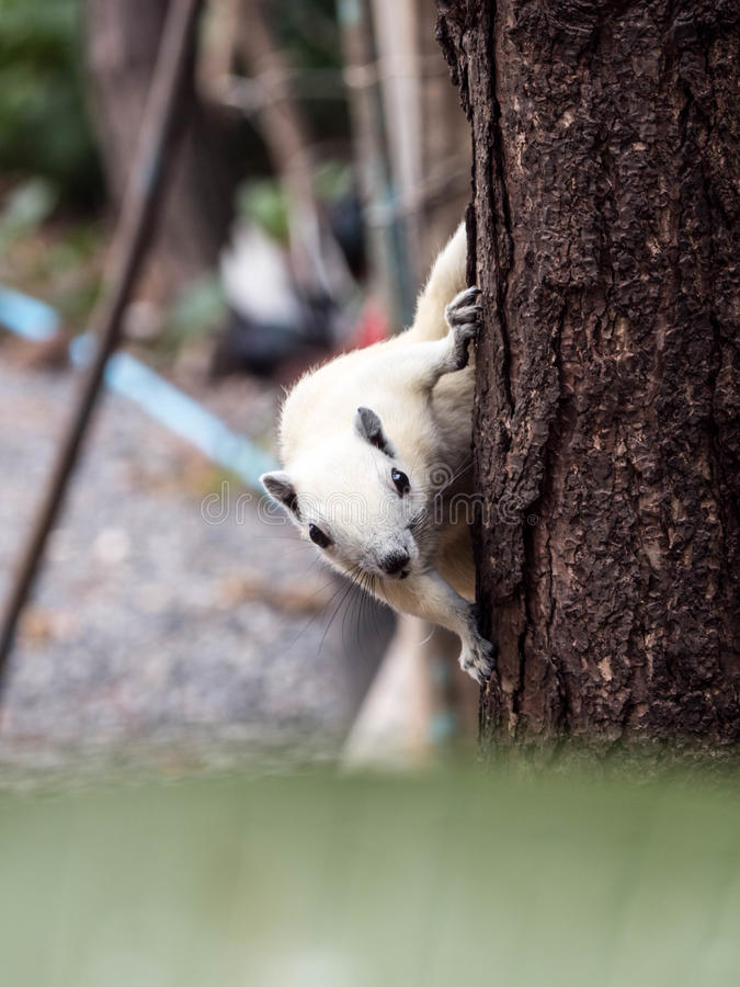 Witte eekhoorn op de boom stock afbeelding