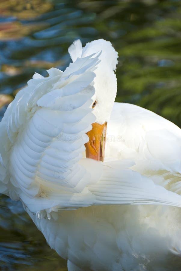 Witte Eend royalty-vrije stock foto