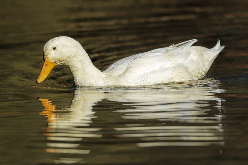 Witte eend op een kalme vijver royalty-vrije stock foto