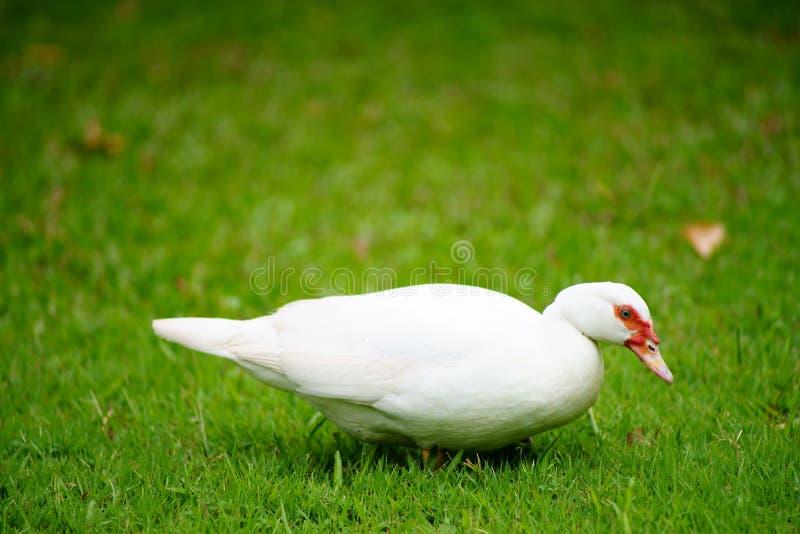 Witte eend op groen gras royalty-vrije stock foto