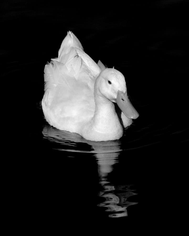 Download Witte Eend Pekin Met Bezinning Stock Afbeelding - Afbeelding bestaande uit wildlife, zwart: 297401