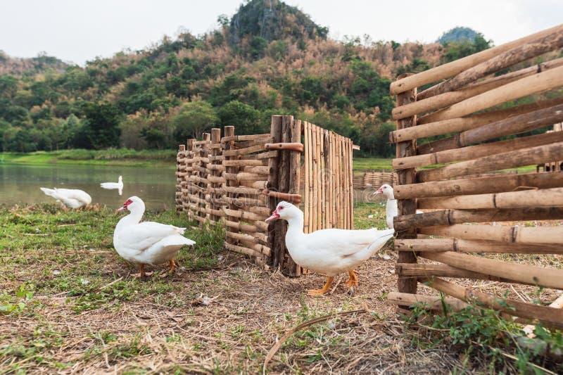 Witte eenden die van houten box opstappen stock afbeeldingen