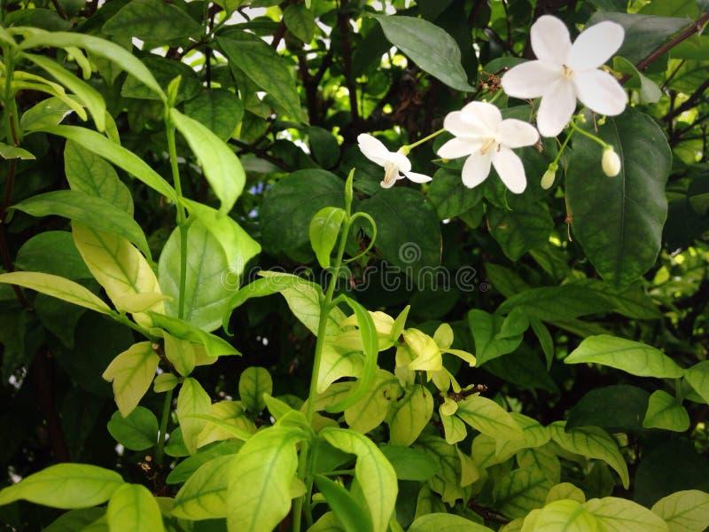 Witte eenzame bloemen groene bladeren stock afbeelding