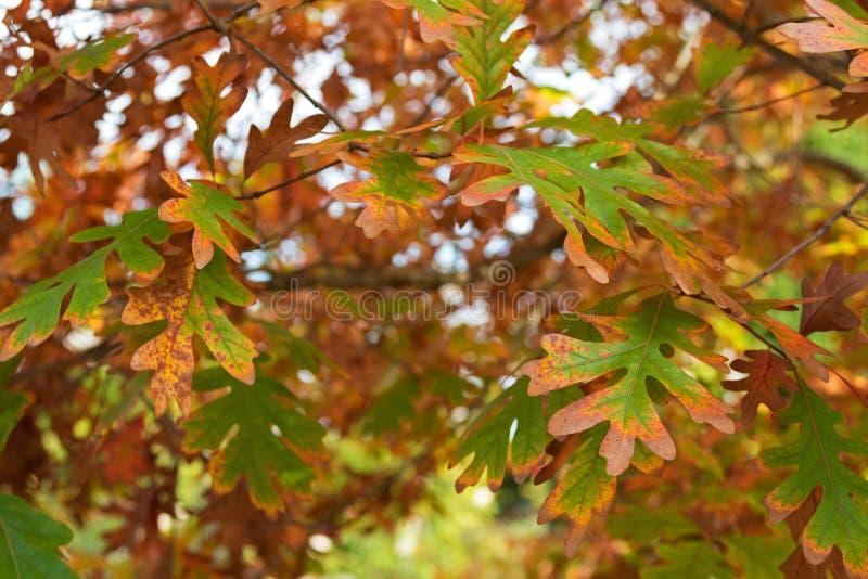 Witte Eiken bomenbladeren die de Herfst gele schaduw tijdens F worden royalty-vrije stock afbeelding