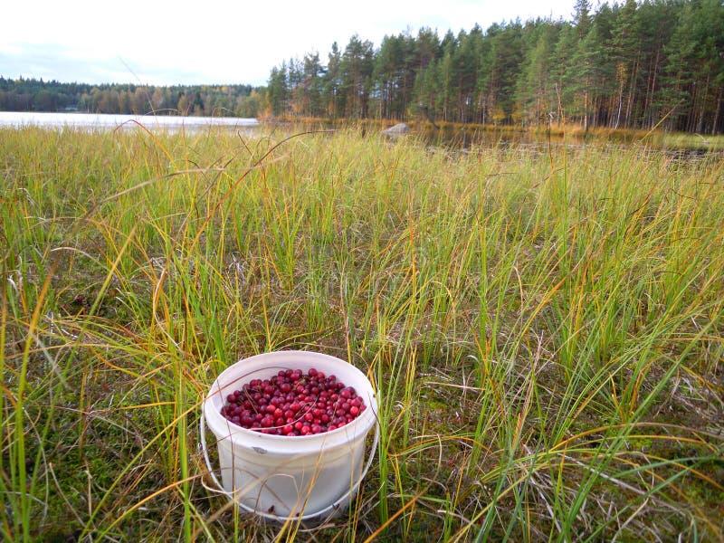 Witte emmer met rode Amerikaanse veenbessen in het moeras door het meer royalty-vrije stock fotografie