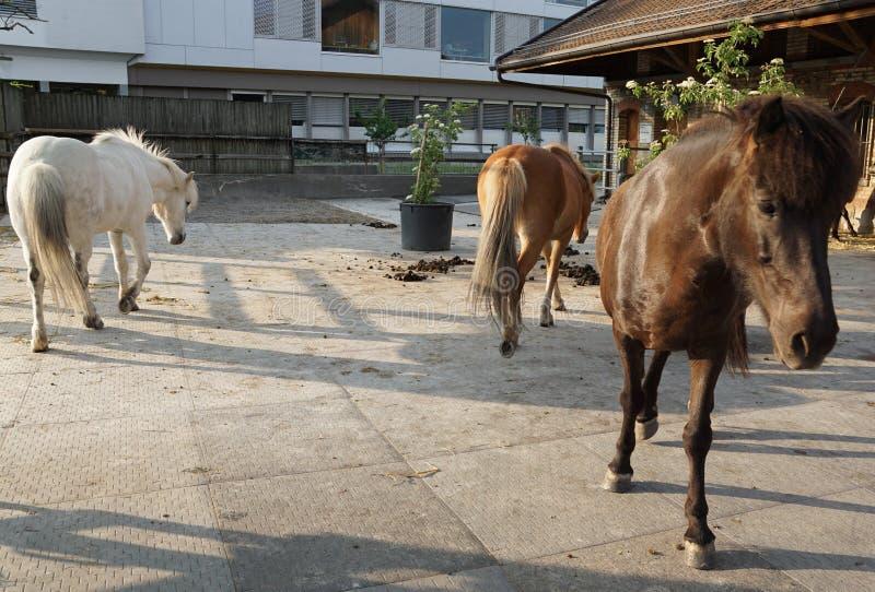 Witte en bruine paarden stock afbeeldingen