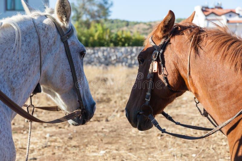 Witte en bruine paarden op het landbouwbedrijf stock afbeeldingen