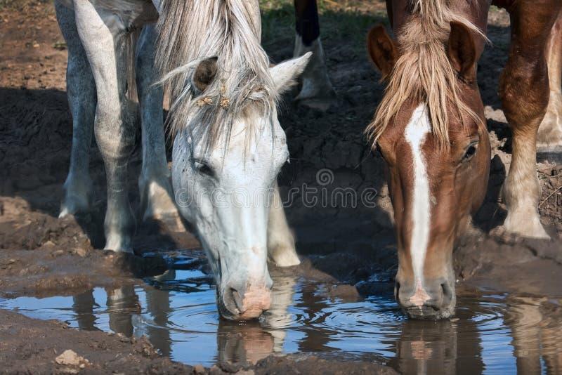 Witte en bruine paardendranken stock afbeeldingen