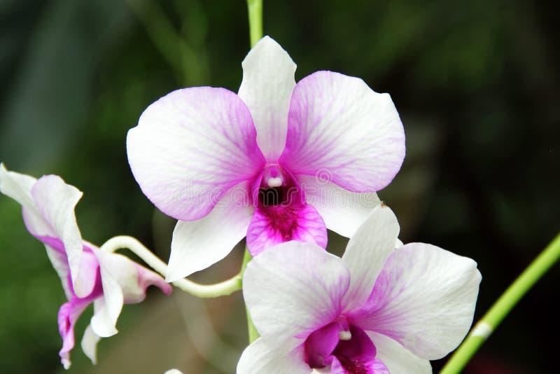 Witte en Donkerrode Vlinderorchidee stock foto