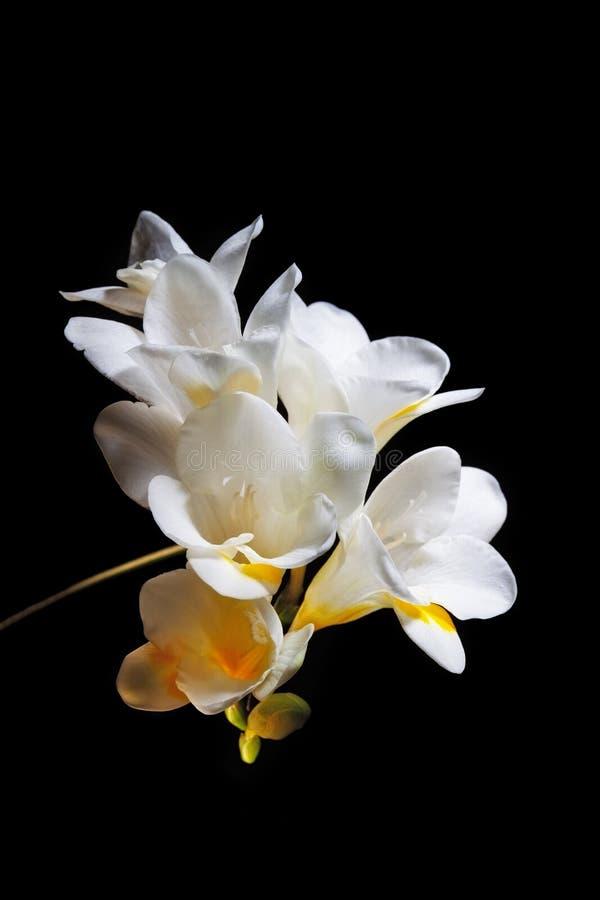 Witte en gele fresiabloemen royalty-vrije stock fotografie