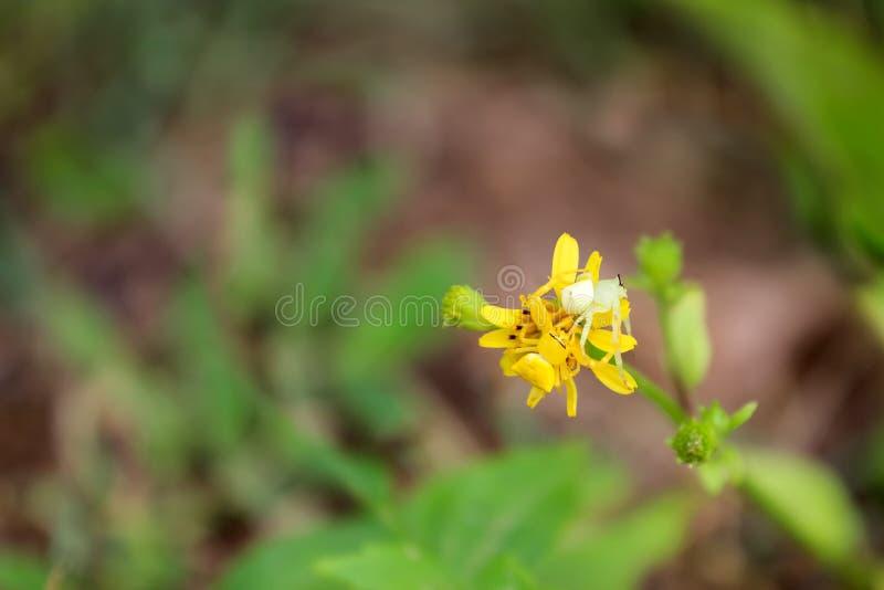 Witte en gele Krabspin op de gele bloem stock foto's