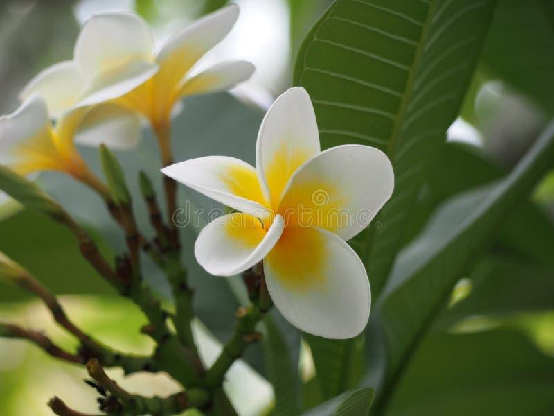 Witte en Gele Tropische Frangipani royalty-vrije stock afbeeldingen