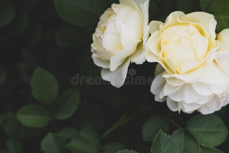 Witte en gele Uetersener-klooster het van flower power, nam met donkergroen gebladerte met exemplaarruimte toe stock afbeeldingen