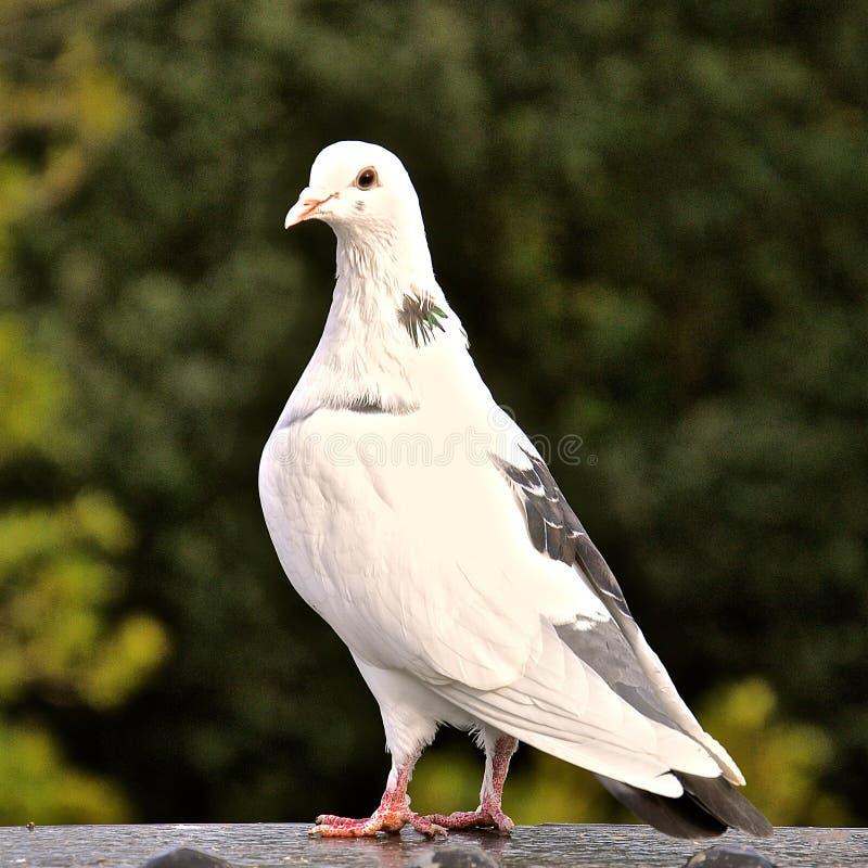 Witte en grijze duif stock fotografie