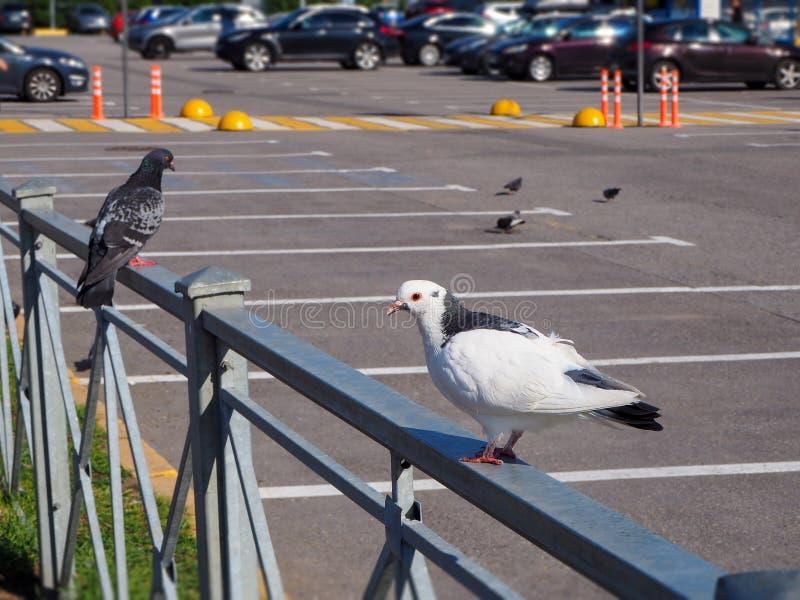 Witte en grijze wilde domestica van duivencolumba livia zit op de omheining in het parkeerterrein stock afbeeldingen
