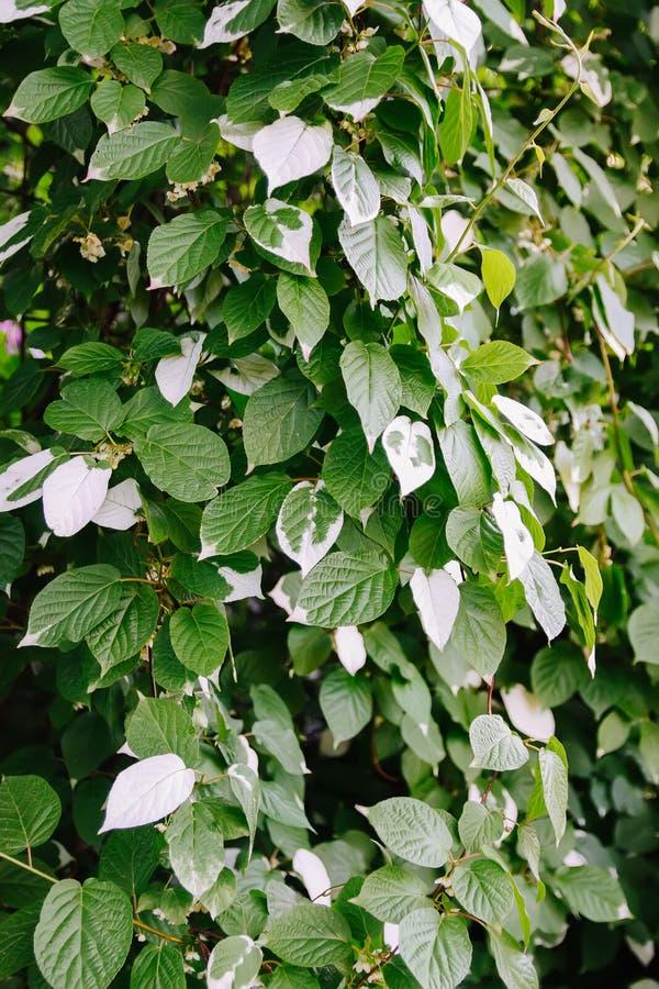 Witte en groene bladeren van Actinidia-kolomikta, Actinidiaceae of schakeren-blad sterke kiwi stock afbeelding