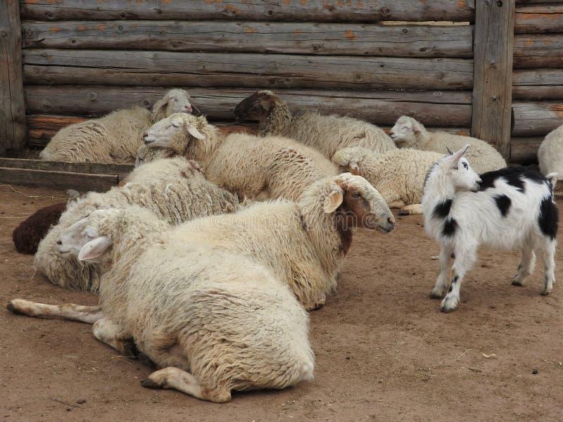 Witte en leuke babygeiten in een schuur Kleine geiten in het hooi stock fotografie