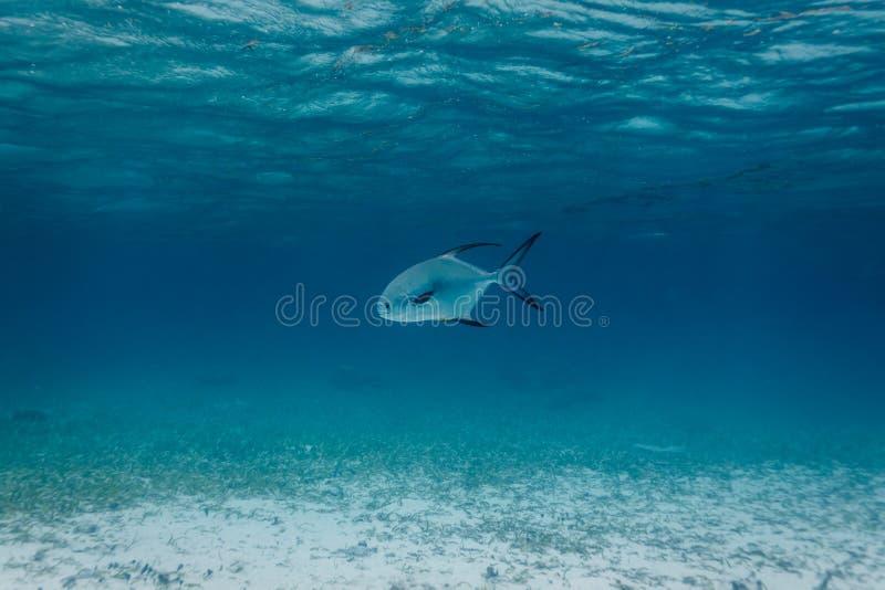Witte en Met zwarte staart Vergunningsvissen, Trachinotus-falcatus, die in Caraïbische overzees zwemmen royalty-vrije stock afbeelding