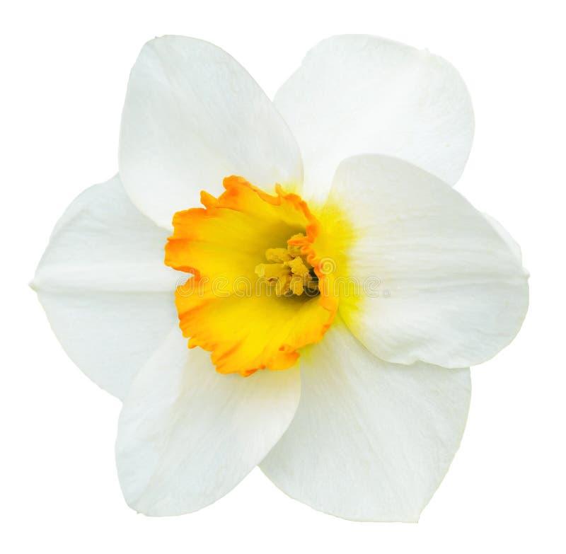 Witte en oranje die narcissenbloem op wit wordt geïsoleerd stock afbeelding