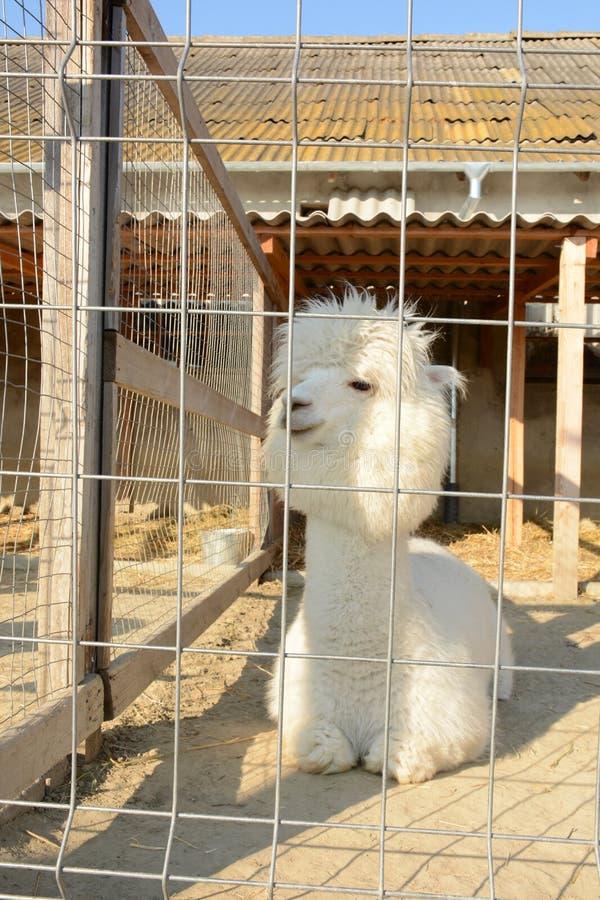 Witte en pluizige alpaca in een kooi stock afbeelding