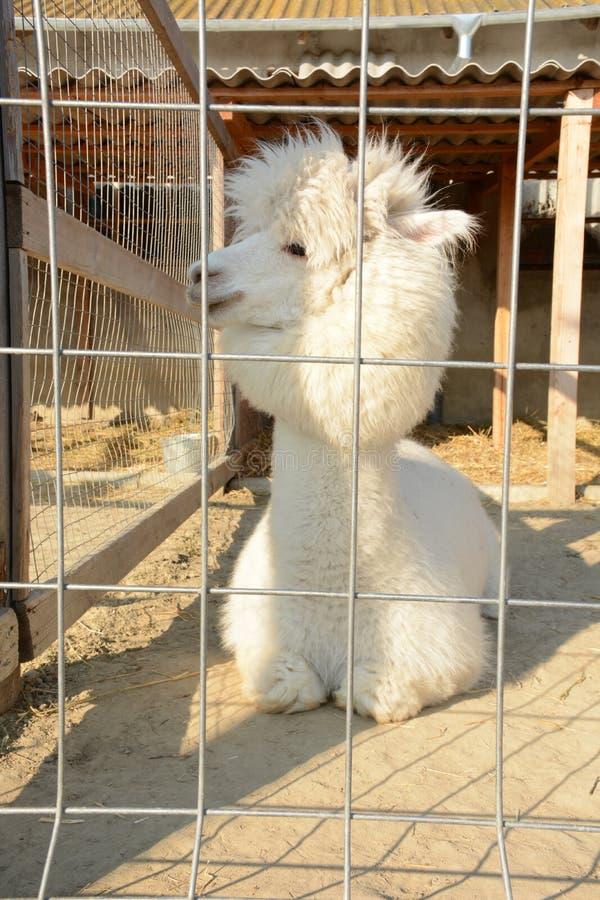 Witte en pluizige alpaca in een kooi royalty-vrije stock afbeelding
