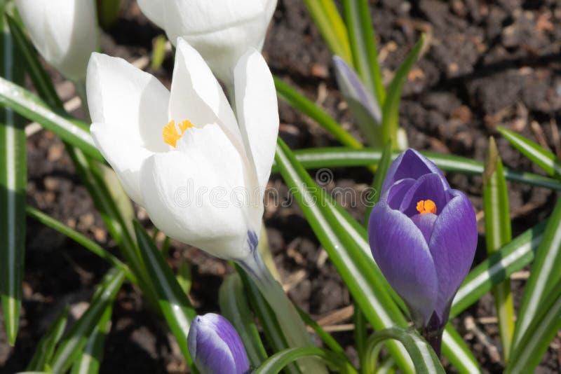 Witte en purpere krokussen in de lentetijd stock foto's