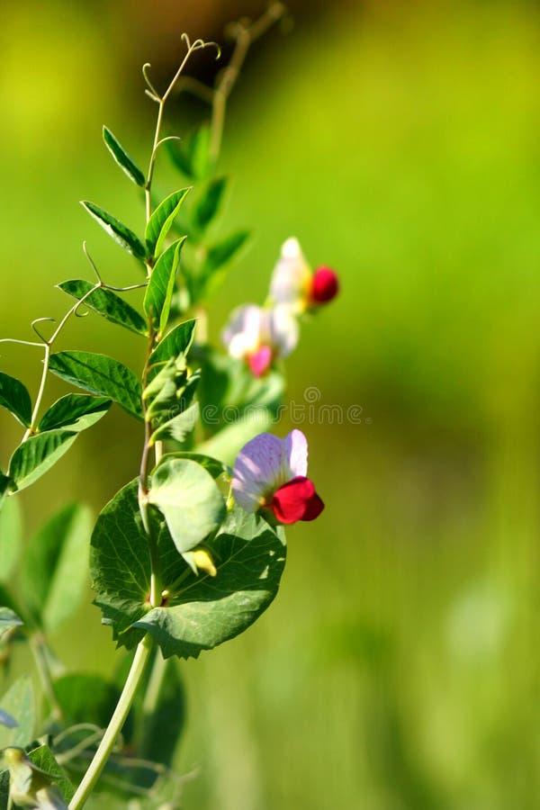 Witte en rode en groene mooie bloemen royalty-vrije stock afbeeldingen